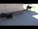 Три собаки на плешке, на которых провокаторы организовали кампанию жалоб во все инстанции (видео 2)