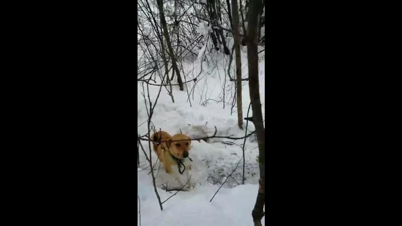 Собака привязана к дереву на верную смерть 23 февраля 2019 г. Глазов ЦВС Верные друзья