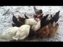 Голодные куры бегут кушать.mp4