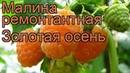 Малина ремонтантная Золотая осень (zolotaia osen) 🌿 обзор: как сажать, саженцы малины Золотая осень