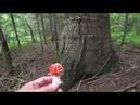 В лес по грибы 25 авг2018г 1 Начались опята