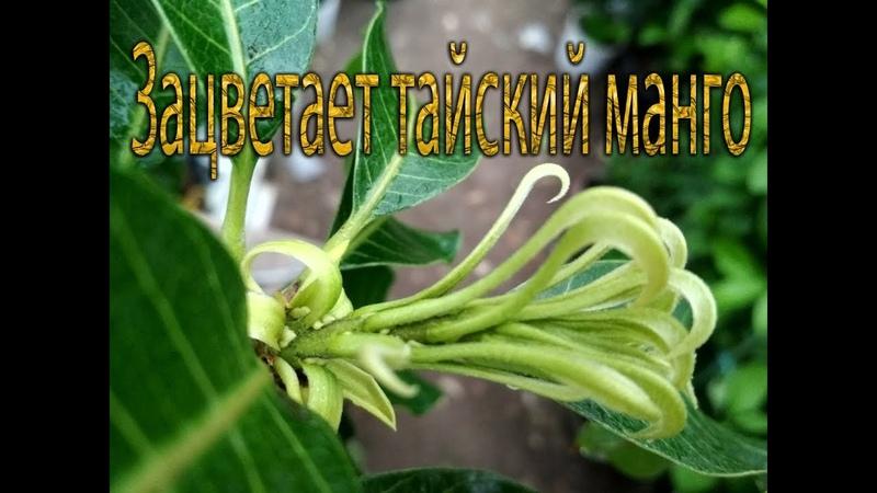 Зацветает манго из Тая и цитрусы в теплице