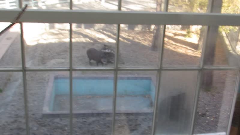 Тапиры радуются солнышку 05.10.18