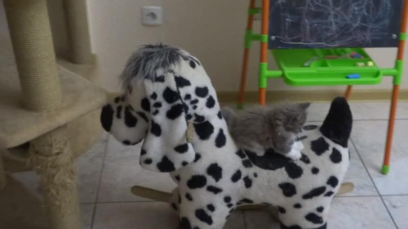 Мейн Куны дружат с собаками..особенно с игрушечными)