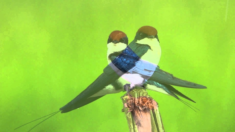 Нитехвостая ласточка / Wire-tailed Swallow (Hirundo smithii filifera)
