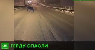 В Петербург неизвестный герой поймал сбежавшую олениху Герду