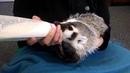 Nursing Baby Badger