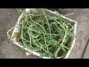 Заготавливаю свои семена мангольда
