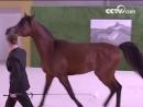 Наследный принц Абу Даби подарил Си Цзиньпину арабского скакуна