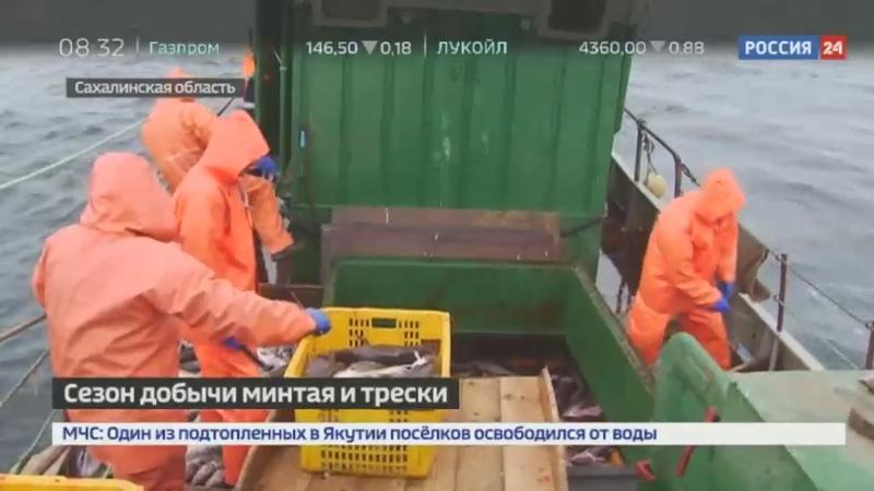 Новости на Россия 24 Минтай и треска стали участниками программы Доступная рыба