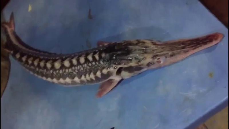 Üzünə həsrət qaldığımız canlı Nərə balığı..