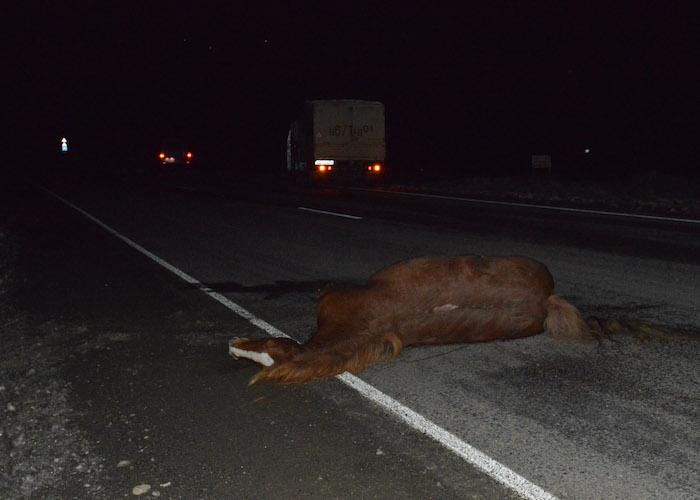 ДТП с участием гуляющего по трассе животного произошло в Урупском районе