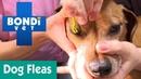 Когда надо проверять, есть ли блохи у собаки / When Should I Check For Fleas On My Dog?