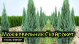 Можжевельник скальный Скайрокет Можжевельник посадка и уход хвойные растения