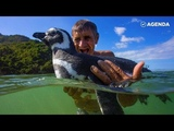 Пингвин Джин Джинг покидает свою стаю в Патагонии каждый год, чтобы навестить друга