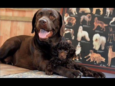 Как оформить регистровую родословную на собаку без документов