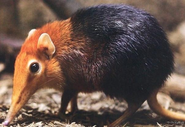 хоботковая собачка петерса - исчезающий вид. это африканское чудо-юдо — потомок грызунов и слонов. правда, я не понимаю, как от них в итоге получилась носатая собачка. считается, что хоботковые