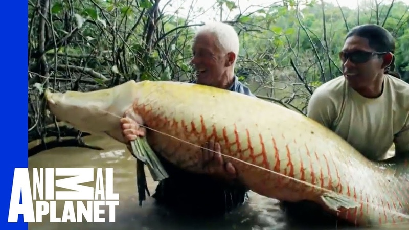 Monster Arapaima is Your 'Mermaid' of Lore River Monsters