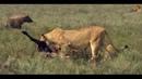 Животные мира Главное оружие хищников дикой природы Охотники и жертвы Стратегия атаки Удачная охота