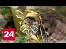 Хищные черепахи захватывают Иркутск Россия 24