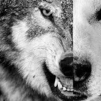 Бесценный Волк
