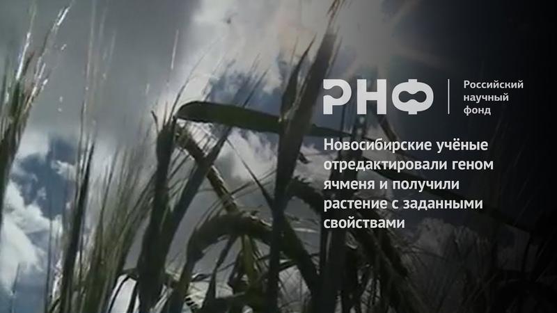 Новосибирские ученые отредактировали геном ячменя и получили растение с заданными свойствами