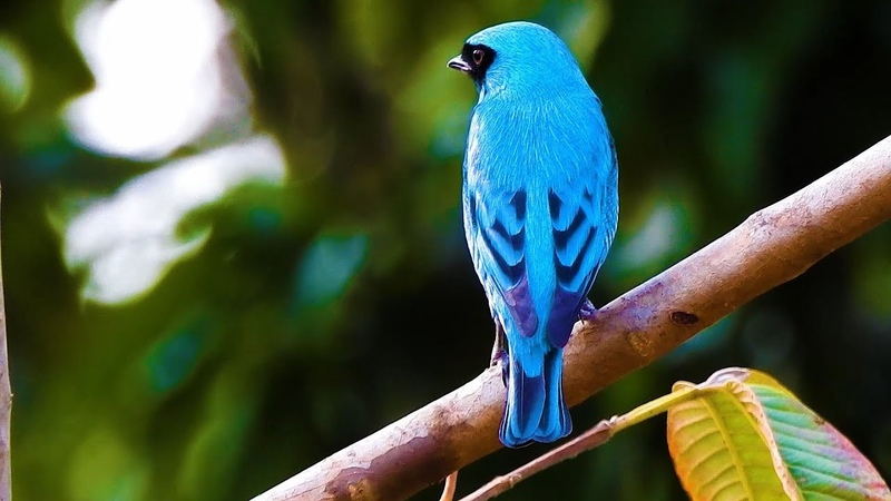Swallow tanager / Ласточковая танагра / Tersina viridis
