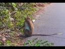 KOH CHANG, Monkey! Романтика острова Ко Чанг-обезьяны.