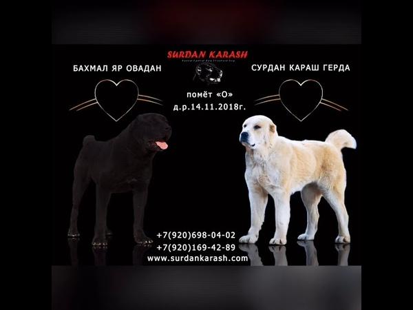 Щенки алабая - помет «О» в питомнике СУРДАН КАРАШ