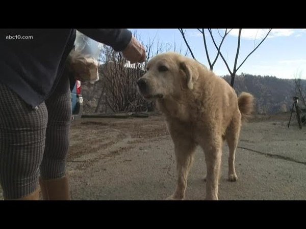 Dog miraculously survives Camp Fire, found waiting at site of burned down home