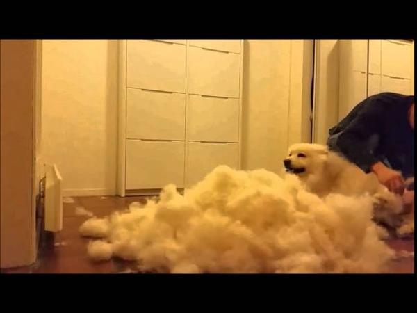 Grooming Samoyed