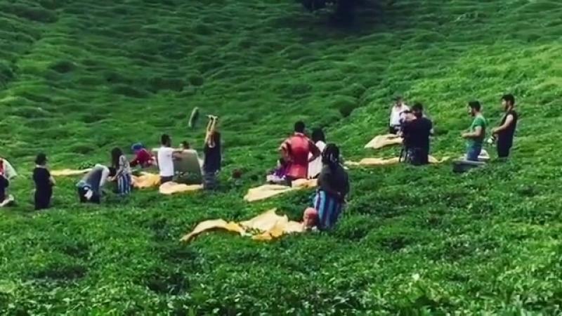 Сцена на чайной плантации