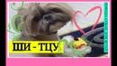 ШИ-ТЦУ Самый добрый Львенок Какую породу собак выбрать Мы после салона!