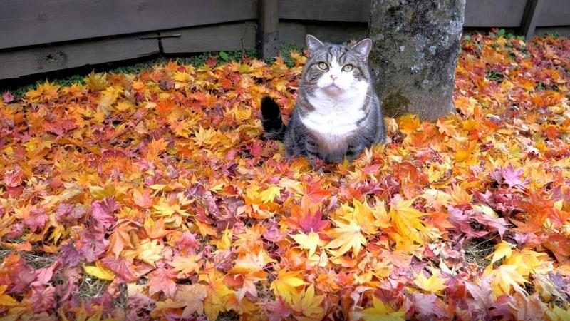 秋のねこ3。-MaruHana in Autumn 3.-