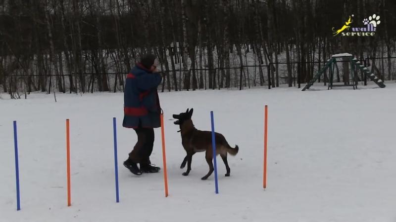 WalkService всё о животных дрессировка собак кошки Аджилити дрессировка воспитание собак змейка обучение мячом малин