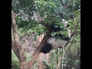 Неуклюжие панды