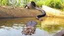 Big Cat Powerful Become Prey Of The Giant Anaconda - Wild Animal Attacks