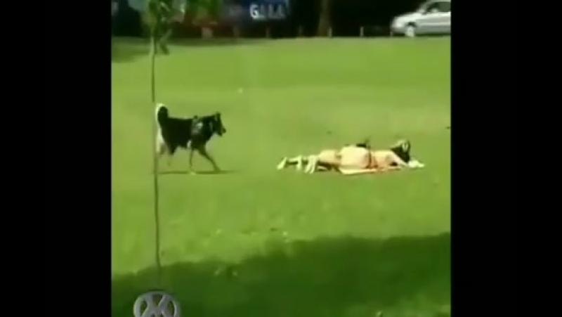 Весёлый пёс