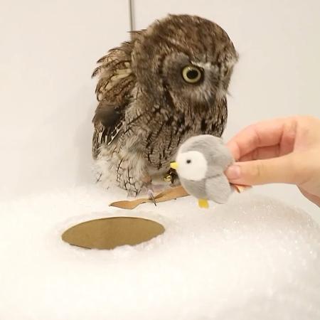 "KuuOwl フクロウのくうちゃん (ニシアメ) on Instagram: ""Vol.2 Do not drop it ! 😆😂😊 ダメだよ。 owl フクロウ ScreechOwl kuuowl ニシアメリカオオコノハズクowlstagram"""