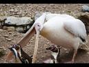 Bồ nông tấn công chim chó mèo con bồ nông háu ăn pelican eat duck