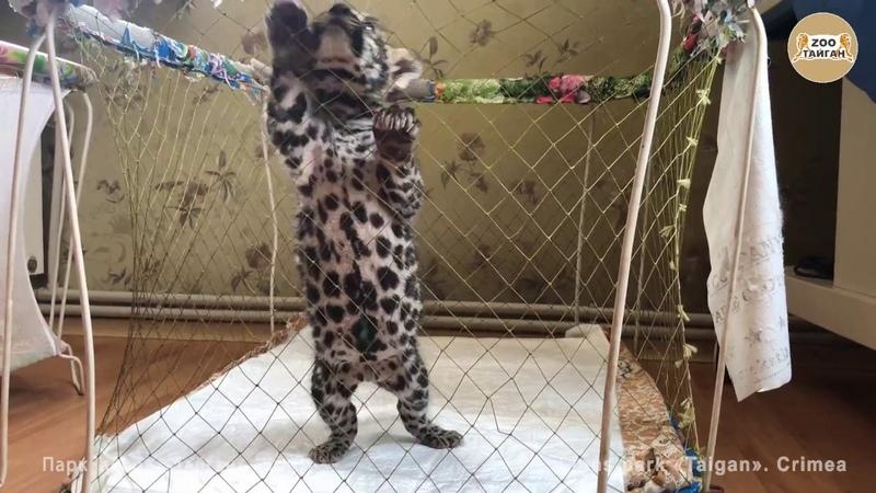 Маленький ягуар Ежик. Тайган. Крым | Baby jaguar