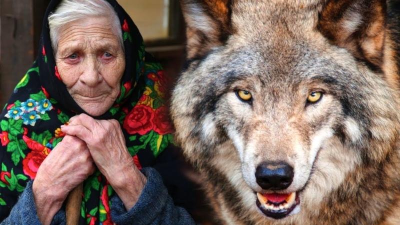 Волк спас бабулю от непрошеных гостей Год назад она взяла его волчонком приняв за щенка.