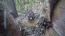 Вьюрок (лат. Fringilla montifringilla)
