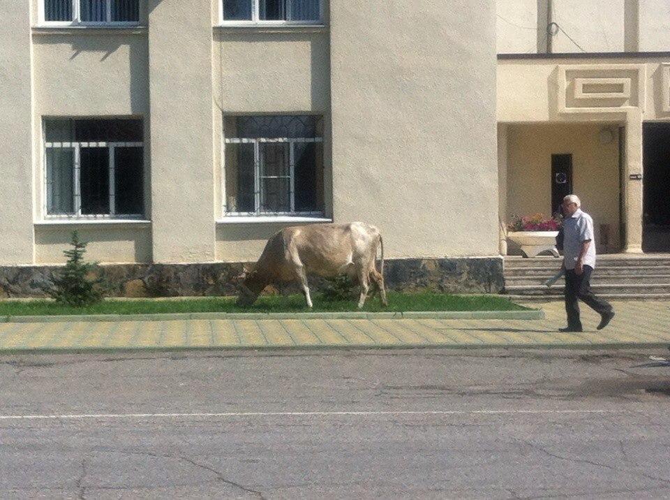 Власти Зеленчукского района заметили гуляющий скот на землях общего пользования