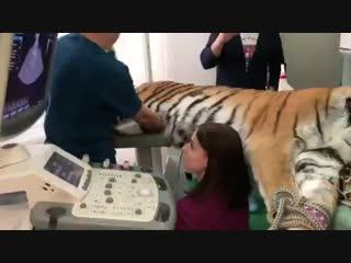 Тигрица Зена в клинике БЭСТ