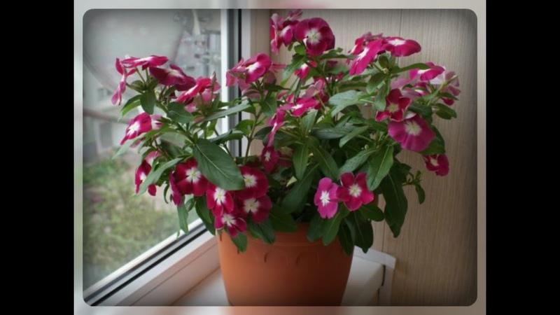 Катарантус розовый или комнатный барвинок