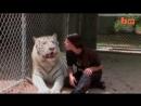 Амазонка играет с белым тигром