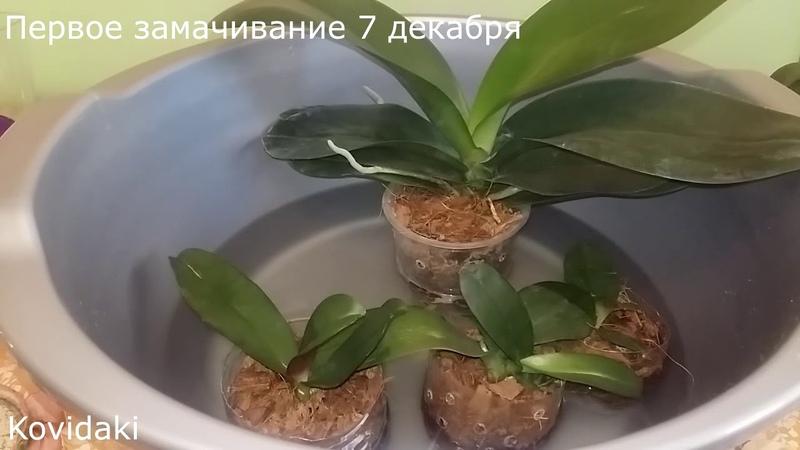 Эксперимент с чесночным расствором и янтарной кислотой над орхидеями