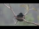 умные птицы оберегают своё гнездо и птенцов