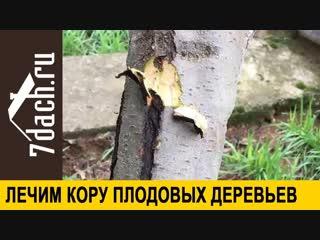 Лечим кору плодовых деревьев. Что делать с трещинами - 7 дач